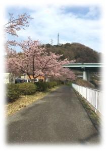 かまぼこの里川沿い桜